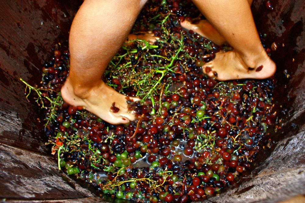 фото сбор винограда